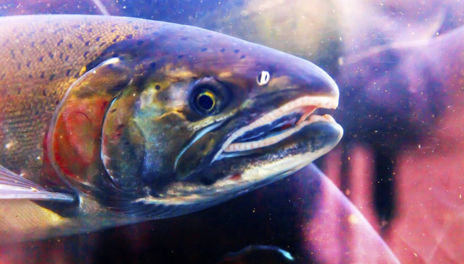 Capilano Salmon Hatchery - Things To Do In Vancouver