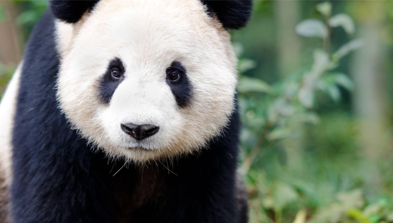 Chengdu Research Base of Giant Panda Breeding - Things To Do In Chengdu