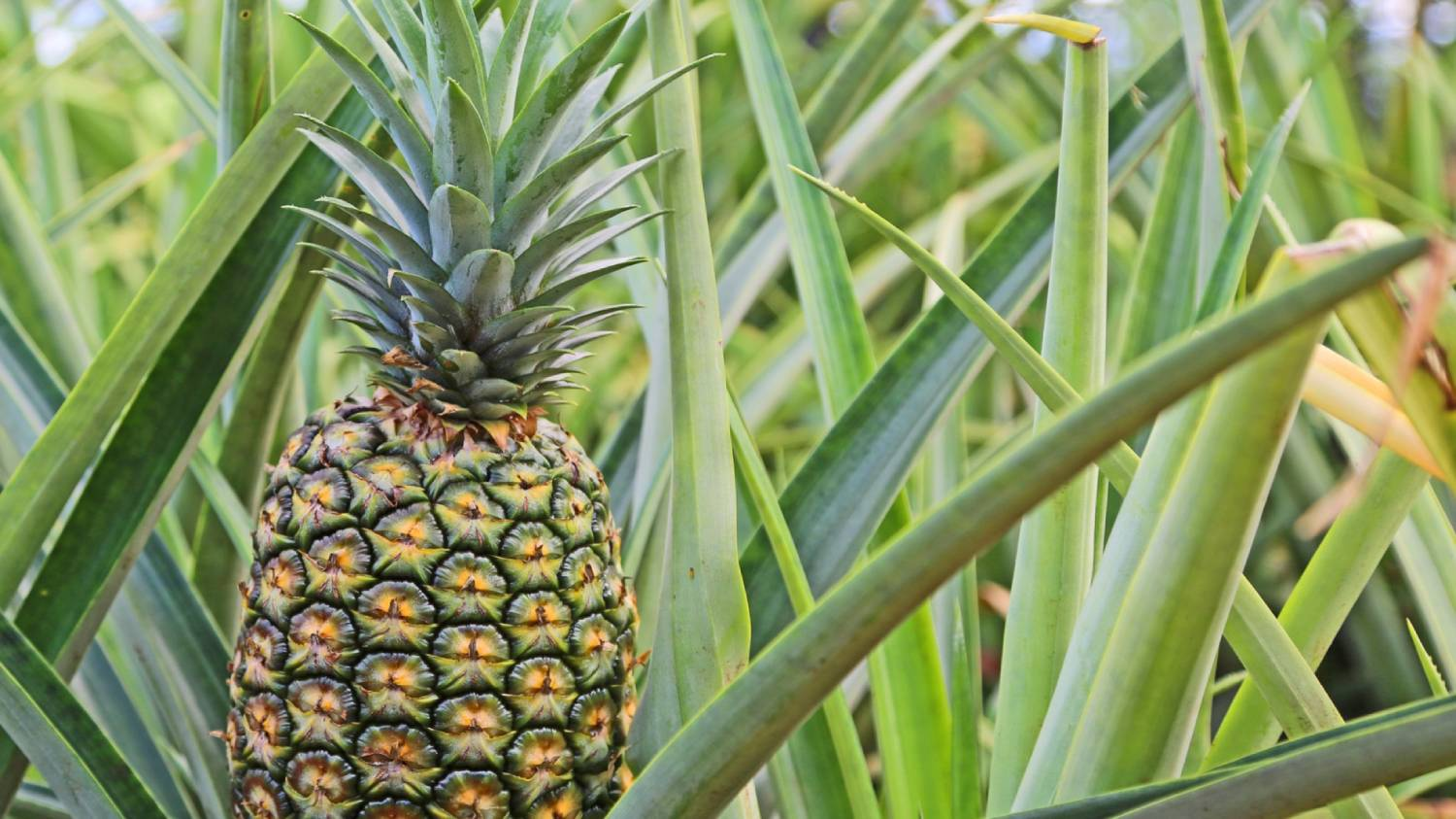 Dole Plantation - Things To Do In Hawaii