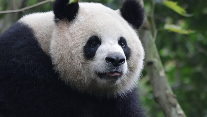 Dujiangyan Panda Base - Things To Do In Chengdu