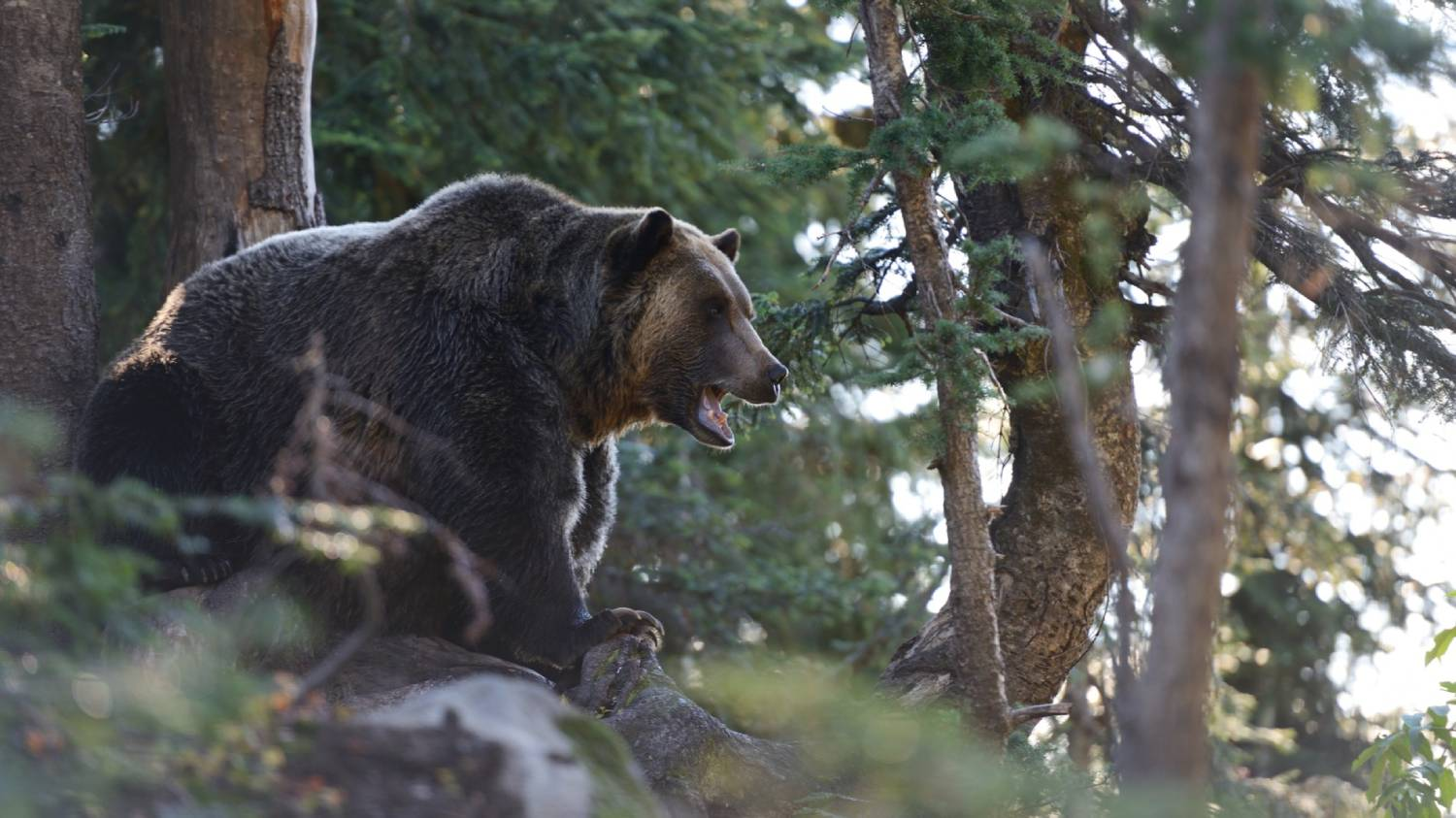 Grouse Mountain Refuge for Endangered Wildlife - Things To Do In Vancouver