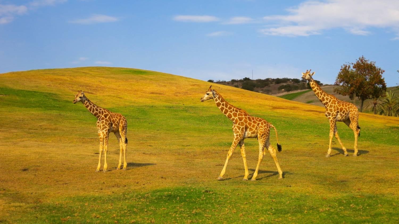 San Diego Zoo Safari Park - Things To Do In San Diego